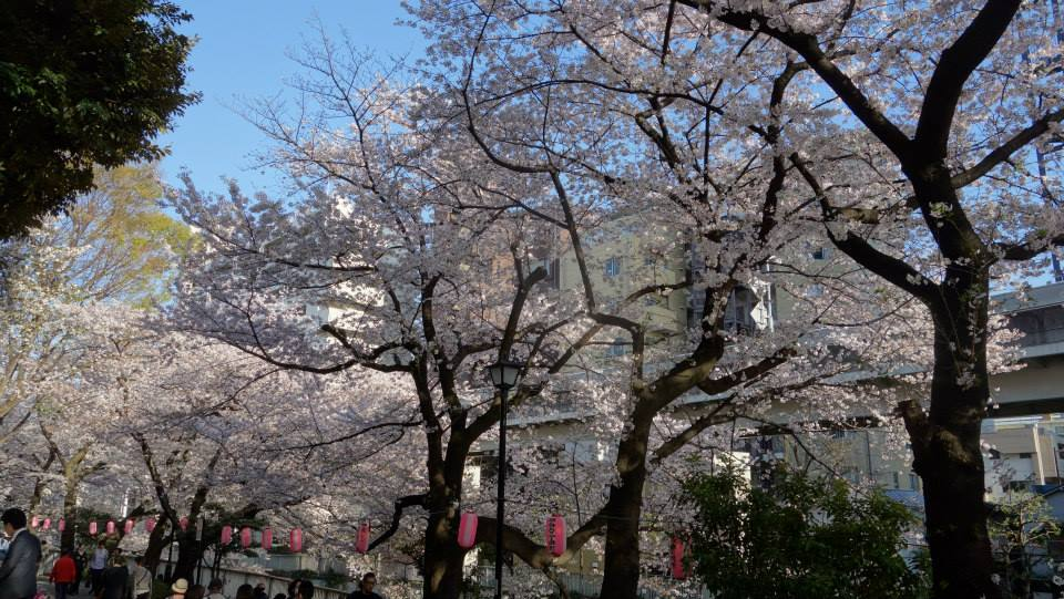 江戸川橋公園の桜